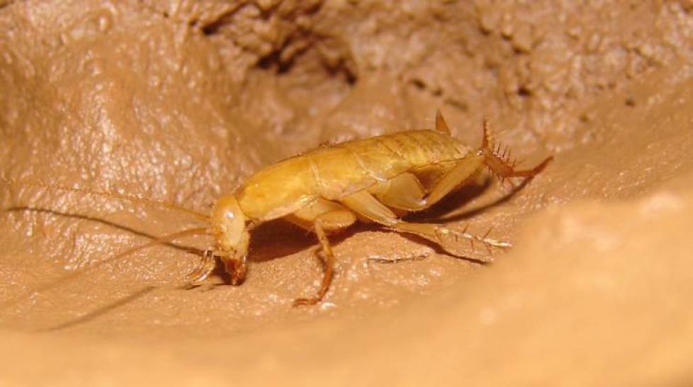 Description of new species of  troglobite Blattaria of Brazil