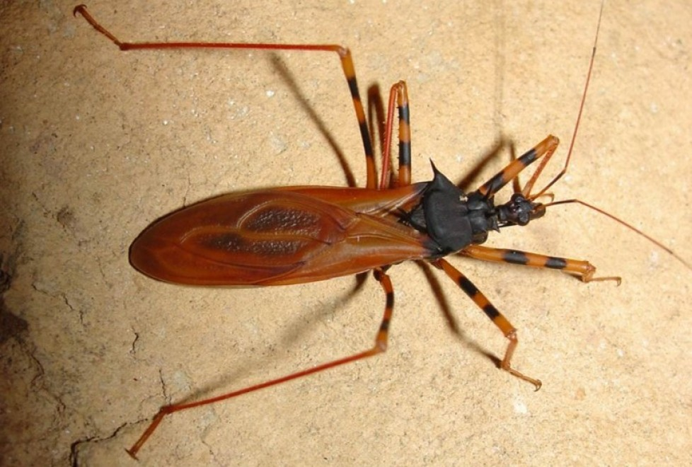 Richness and distribution of the genus Zelurus Hemiptera