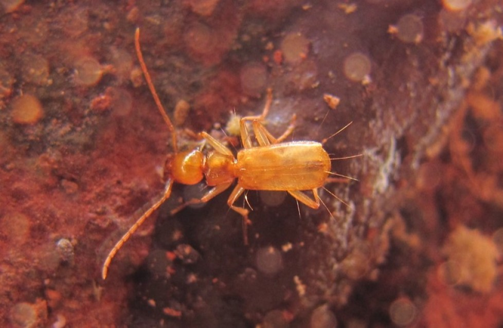 Description of new species of the genus Coarazuphium